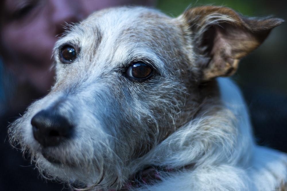 white and gray short coated dog