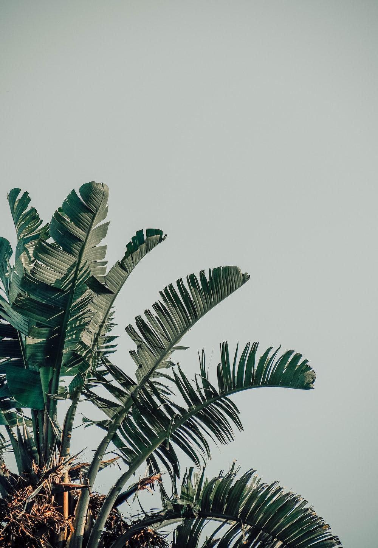 green banana tree under white sky