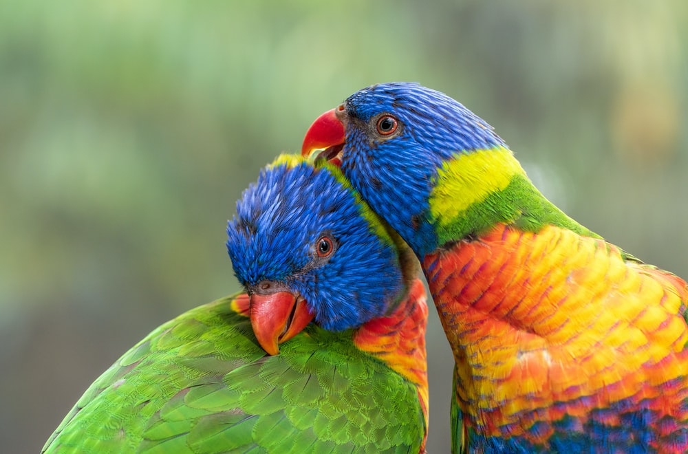 blue green and orange birds