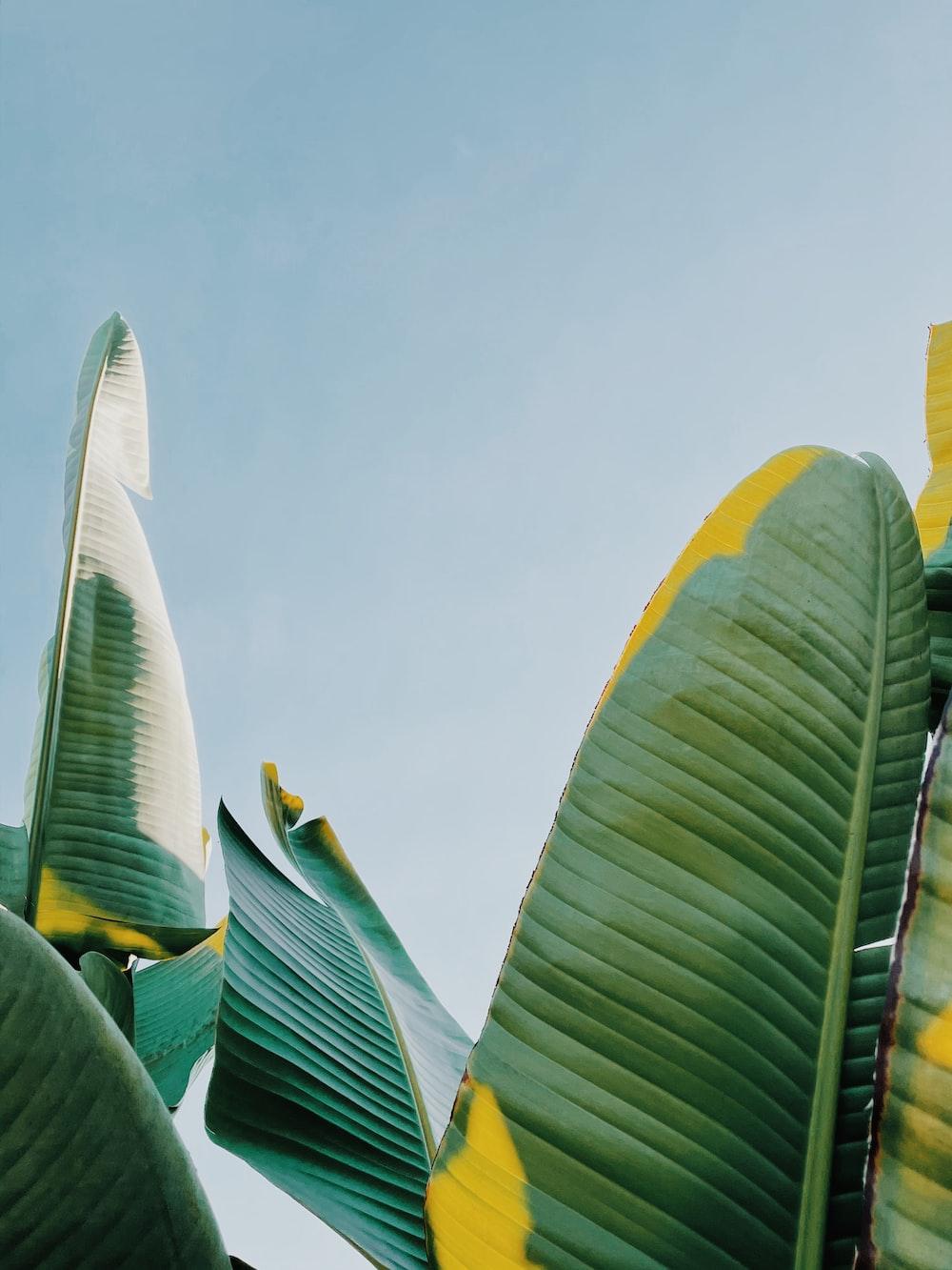 green banana leaves under blue sky during daytime