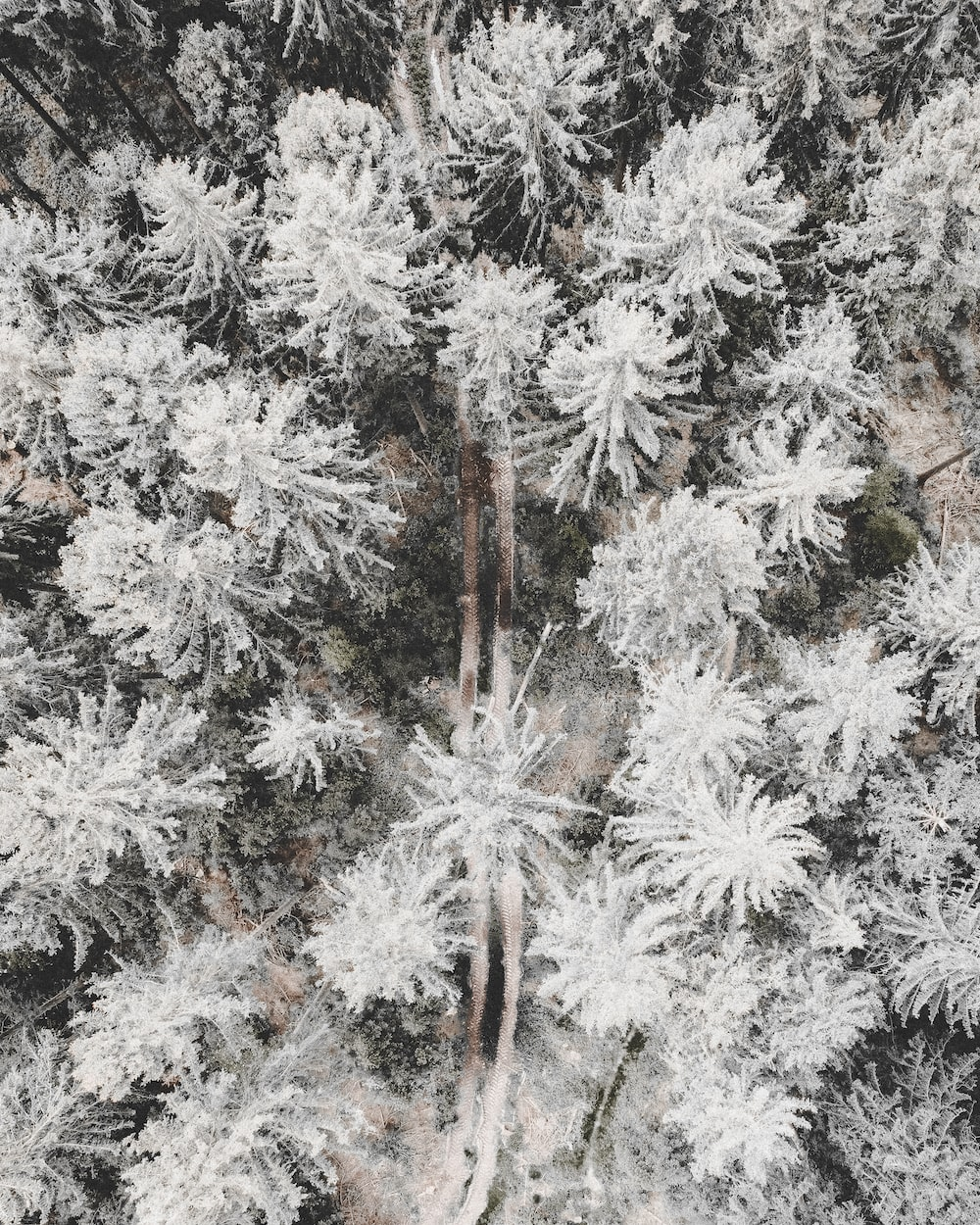 white and brown pine tree