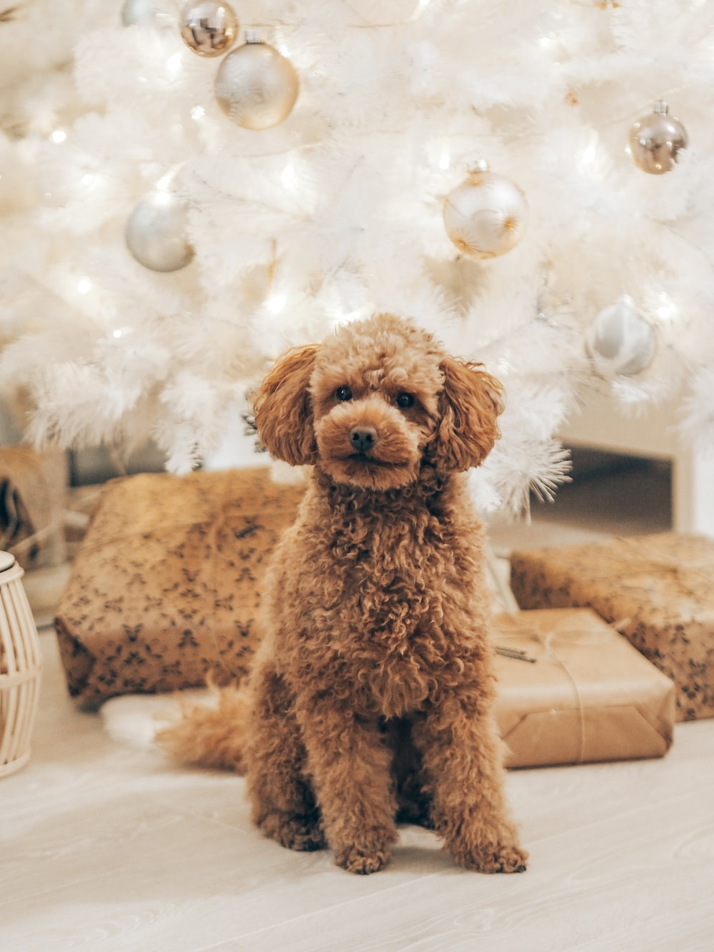 brown poodle on white bed