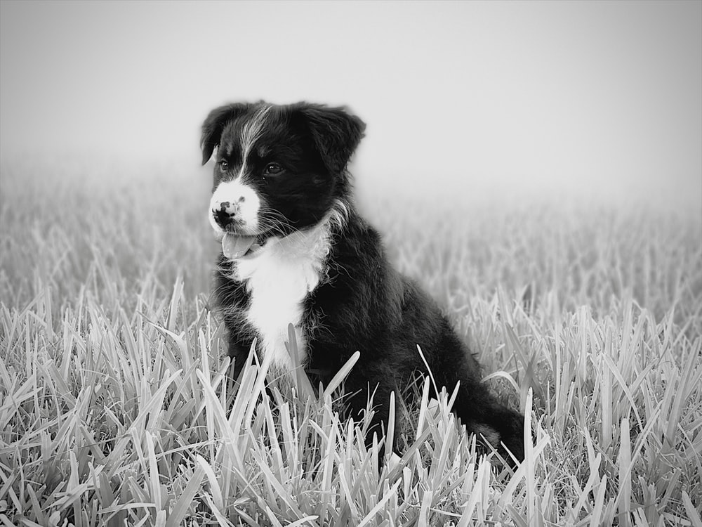 grayscale photo of border collie puppy on grass field
