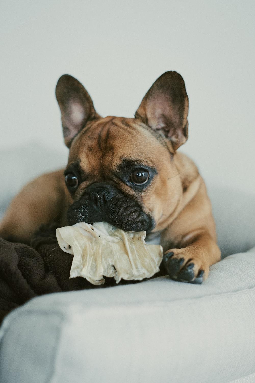 fawn pug puppy on white textile