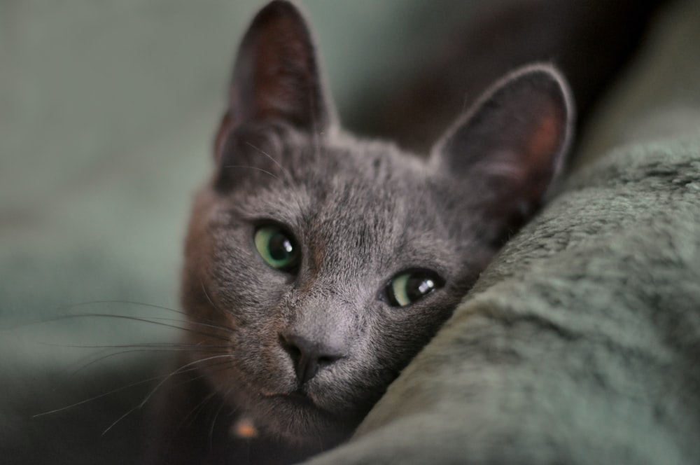 russian blue cat lying on gray textile