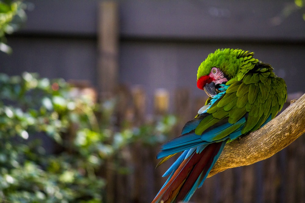 blue green and red parrot