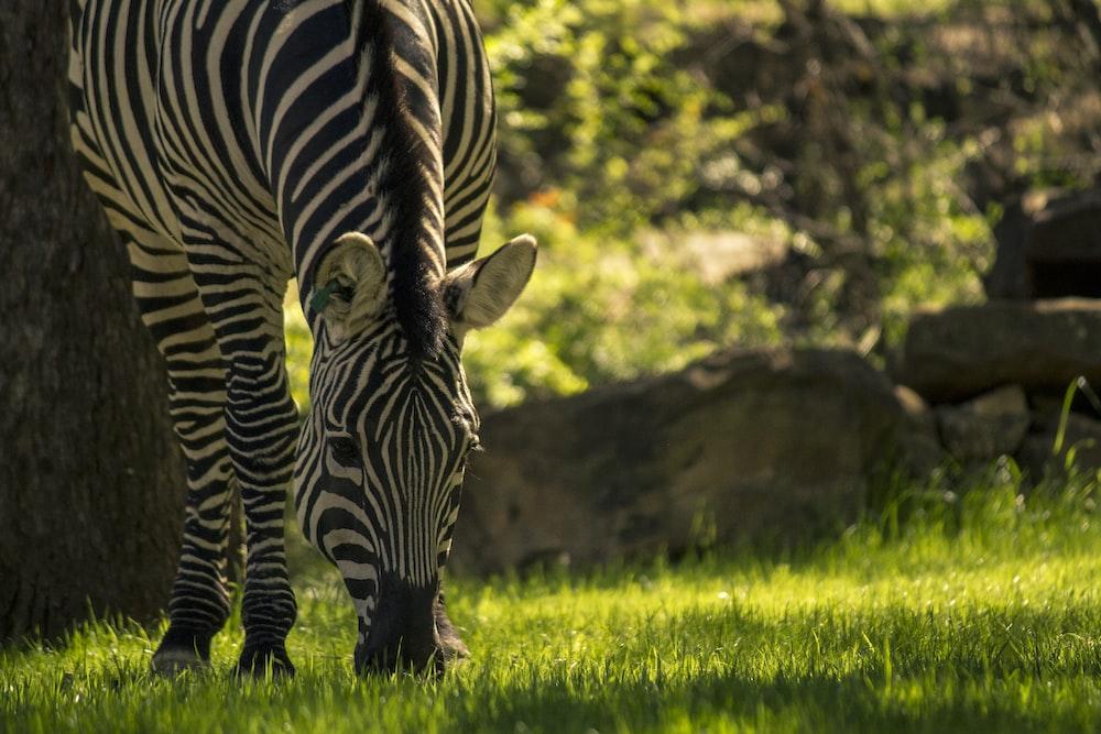 zebra eating grass during daytime