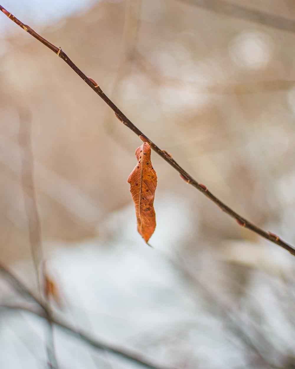 red and brown leaf on brown stem