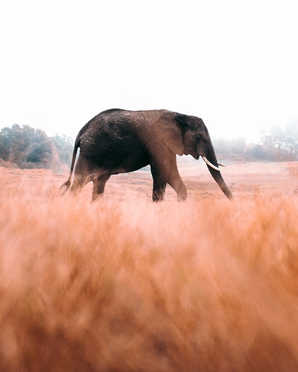 elephant walking on brown grass field during daytime
