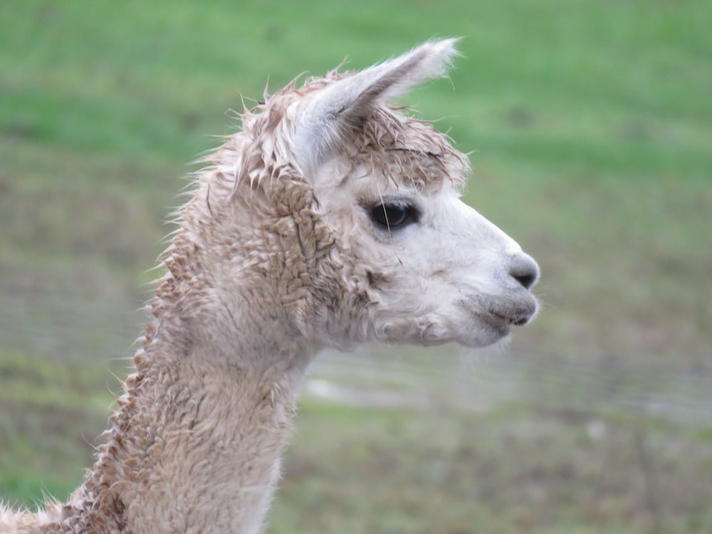 brown llama on green grass field during daytime