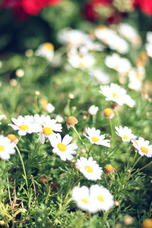white and yellow flowers in tilt shift lens