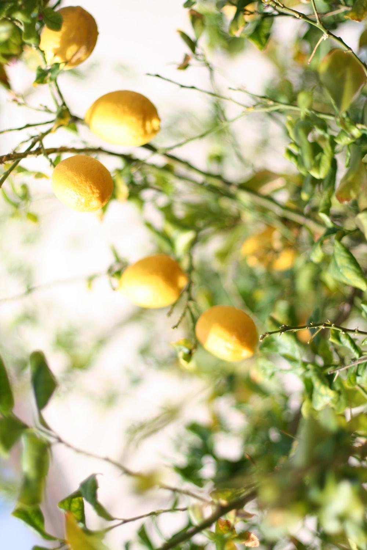yellow fruit on green tree during daytime