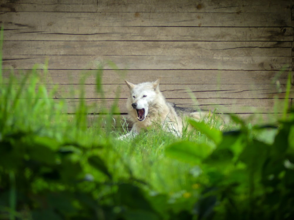 white wolf on green grass field during daytime