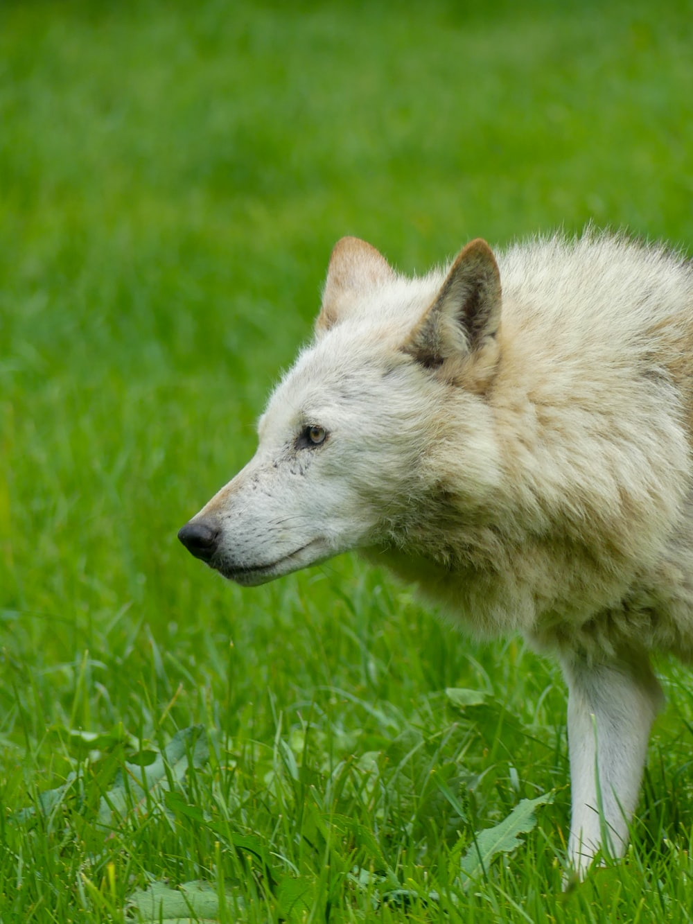 white wolf on green grass during daytime
