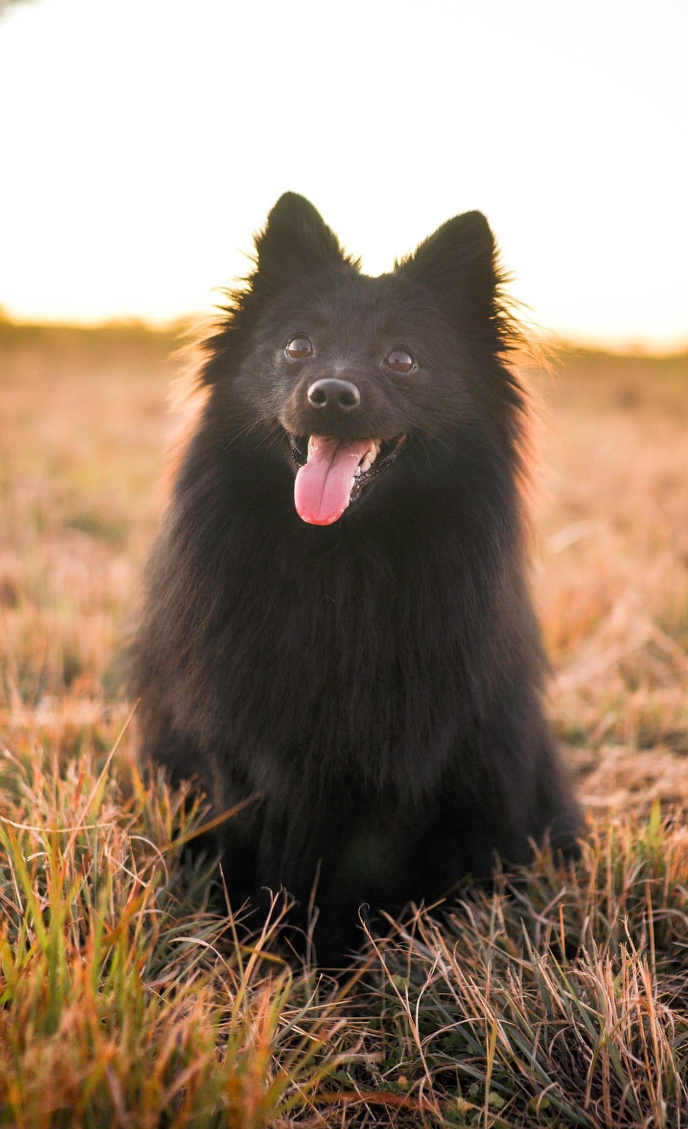 black long coated small dog on green grass field during daytime, pomeranian hair cut