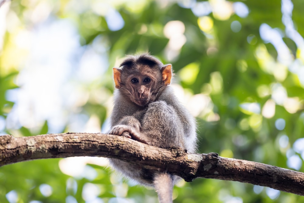 gray monkey on brown tree branch during daytime