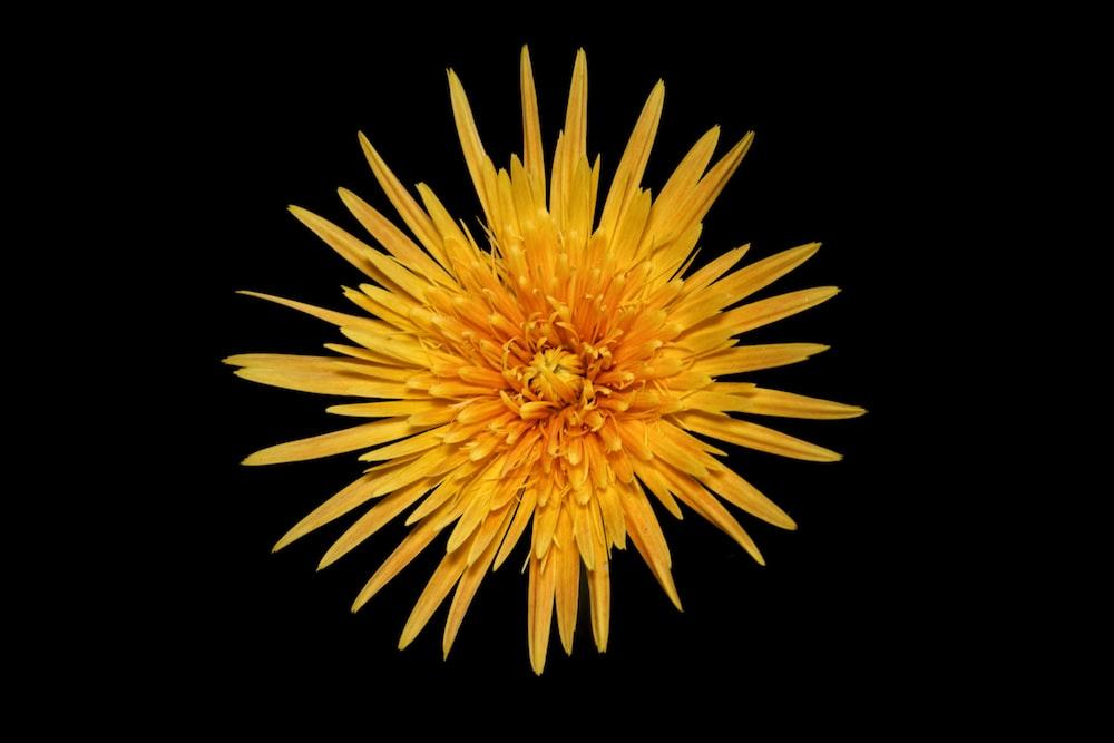 yellow dandelion in black background
