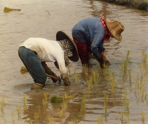 people collect rice from the waters