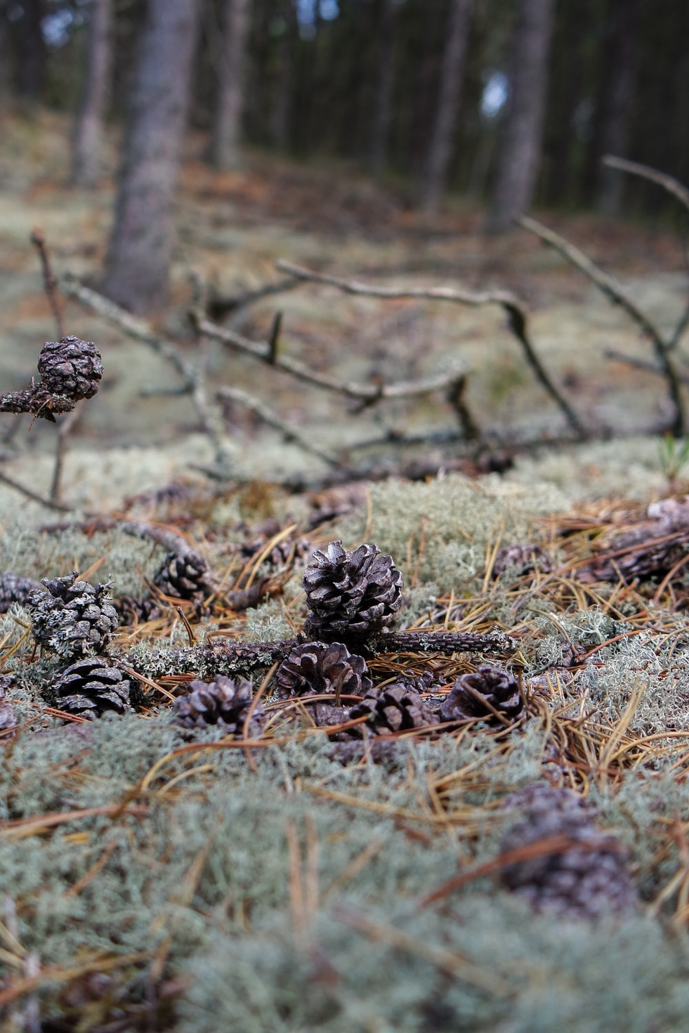 brown pine cones on brown grass