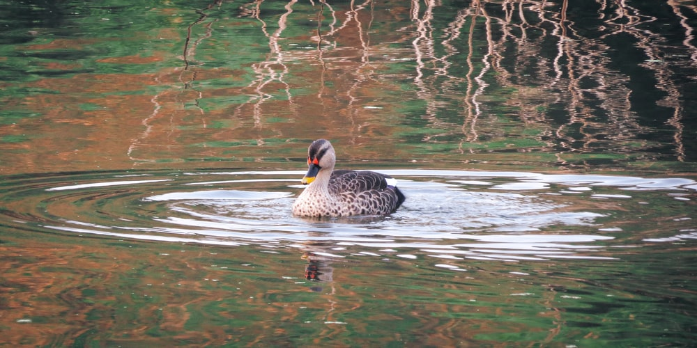 2 brown and black duck on water during daytime