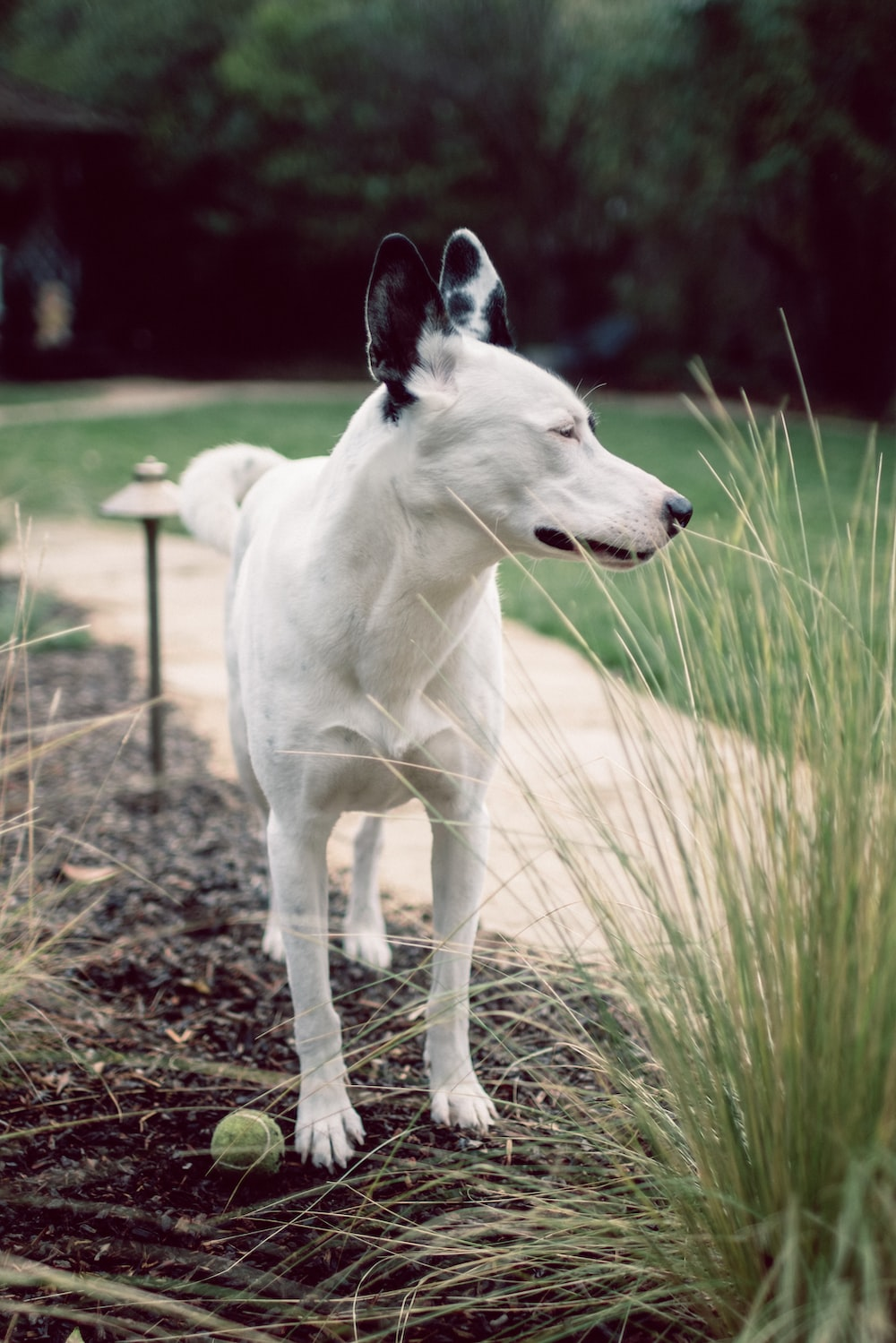 white and black short coated dog on green grass field during daytime