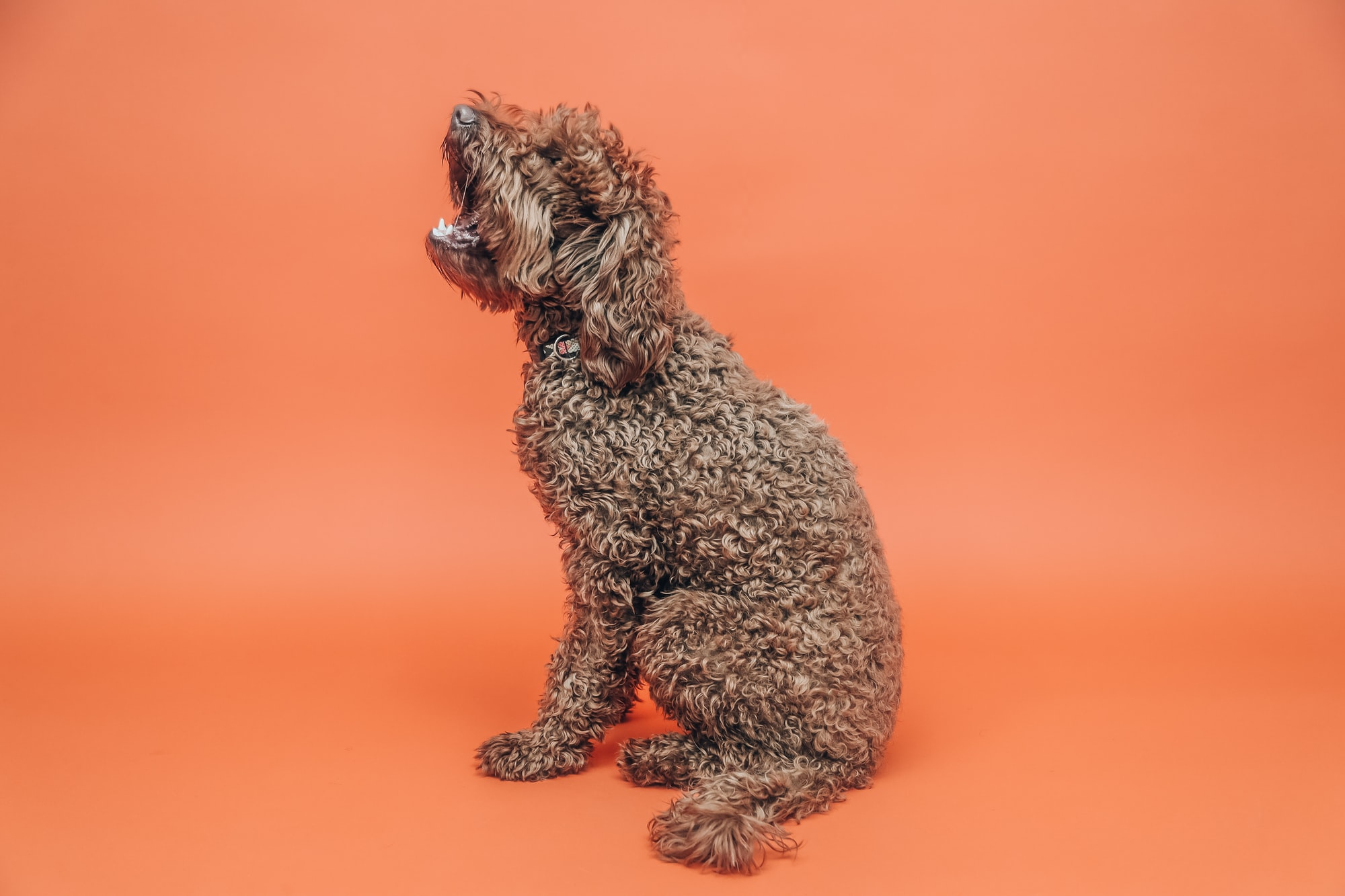 Poodle Separation Anxiety: Can Poodles Be Left Alone?