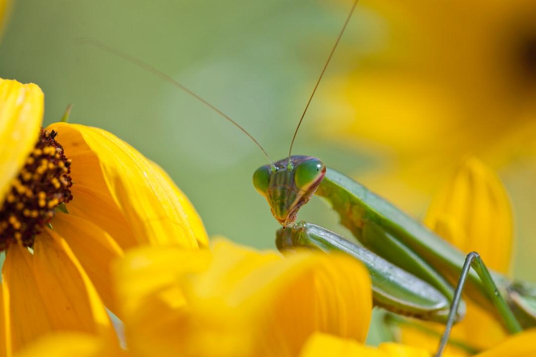 Praying mantis on a flower