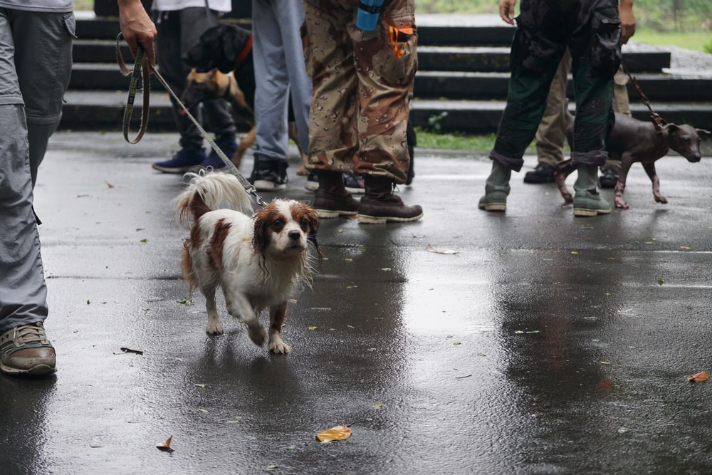white and brown short coated small dog on gray concrete pavement