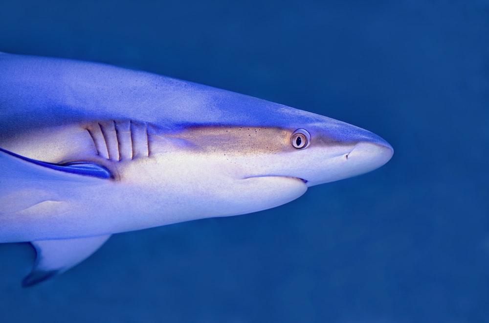 blue and white shark underwater