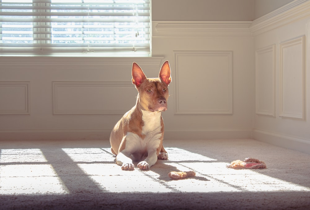 brown and white short coated dog on white window blinds