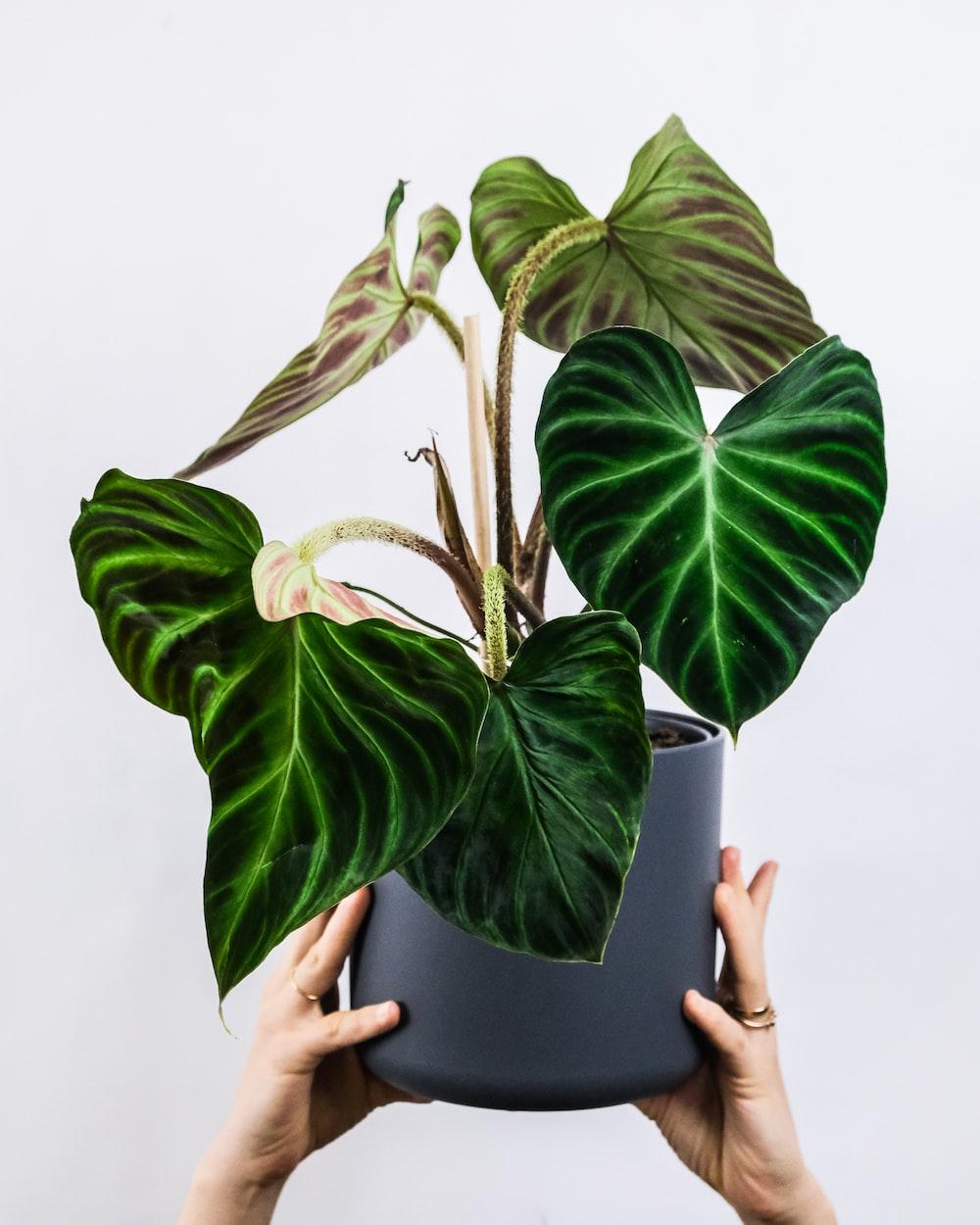 green leaves on black pot