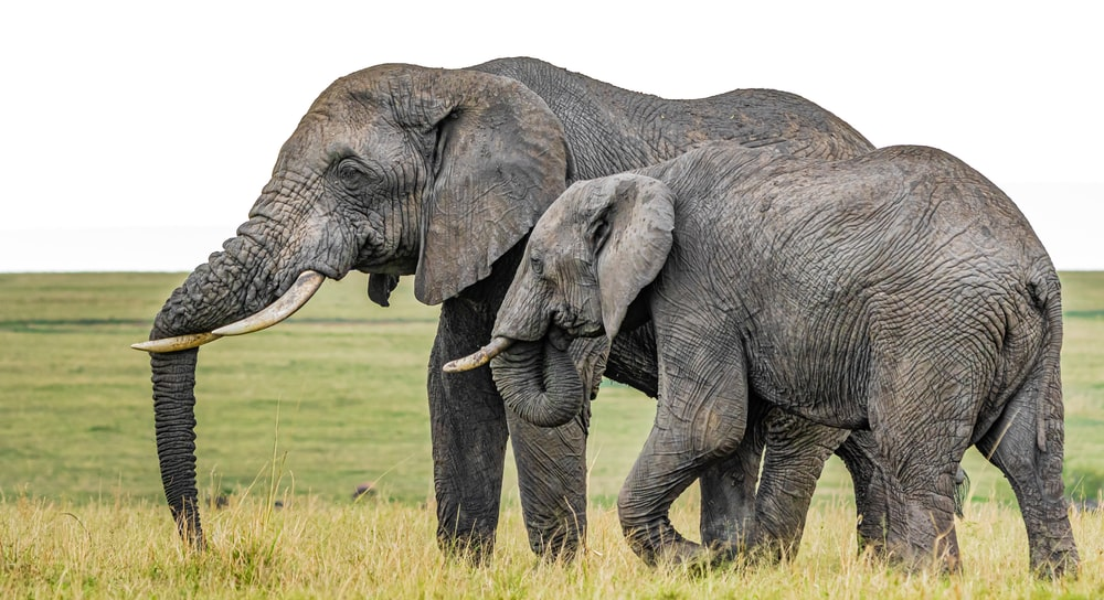 grey elephant on green grass field during daytime