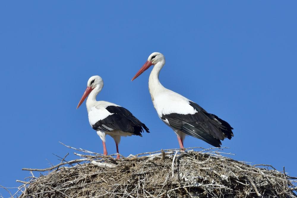 white stork on brown nest during daytime