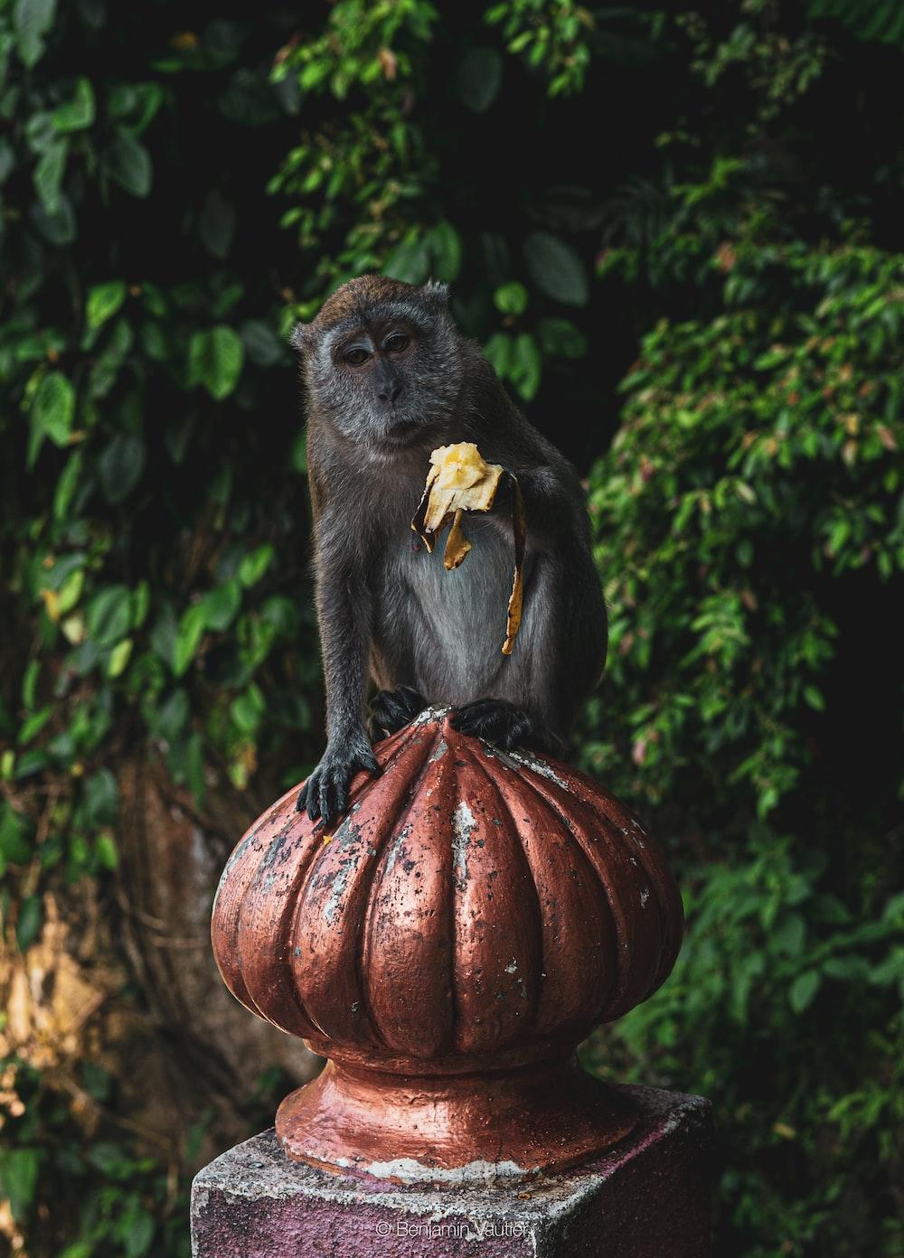 black monkey on brown pumpkin