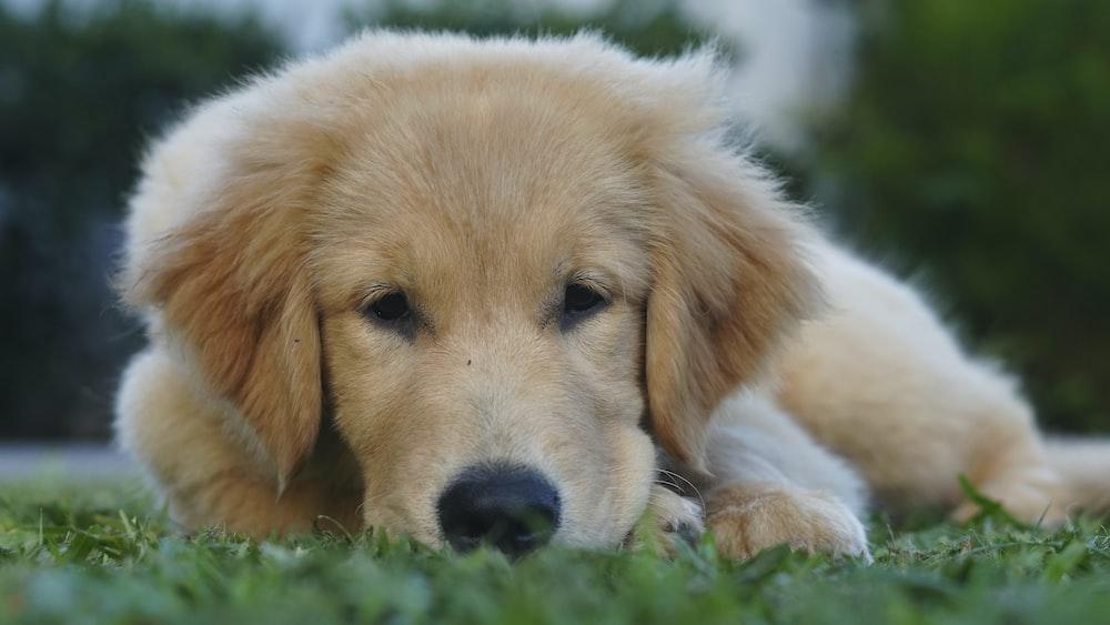 golden retriever puppy lying on green grass during daytime