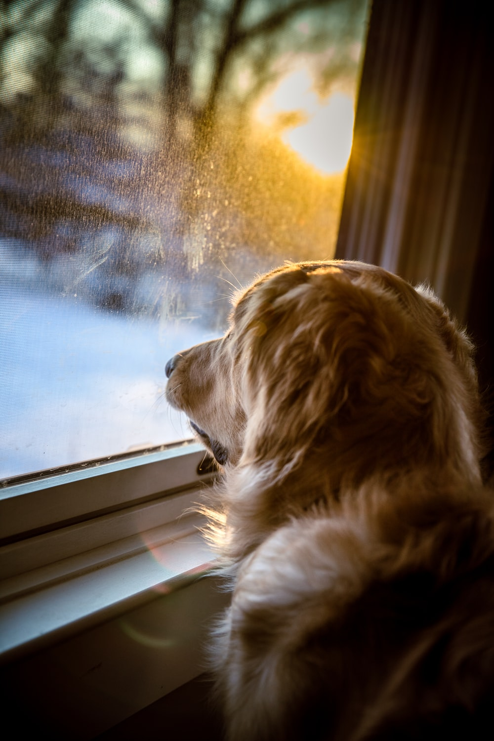 brown long coated dog looking out the window
