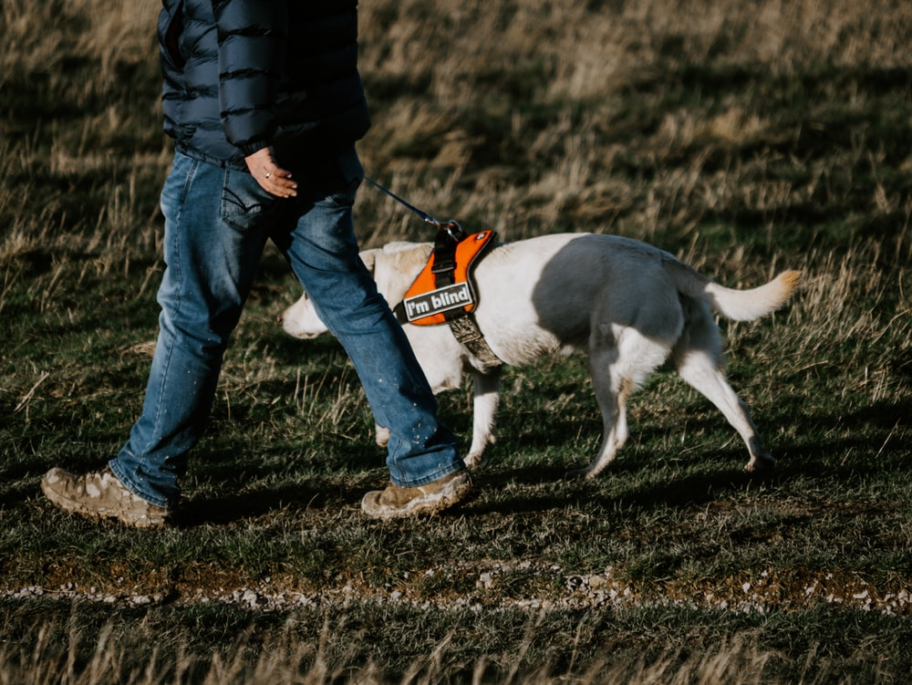 man in black jacket and blue denim jeans walking with white and black short coated dog