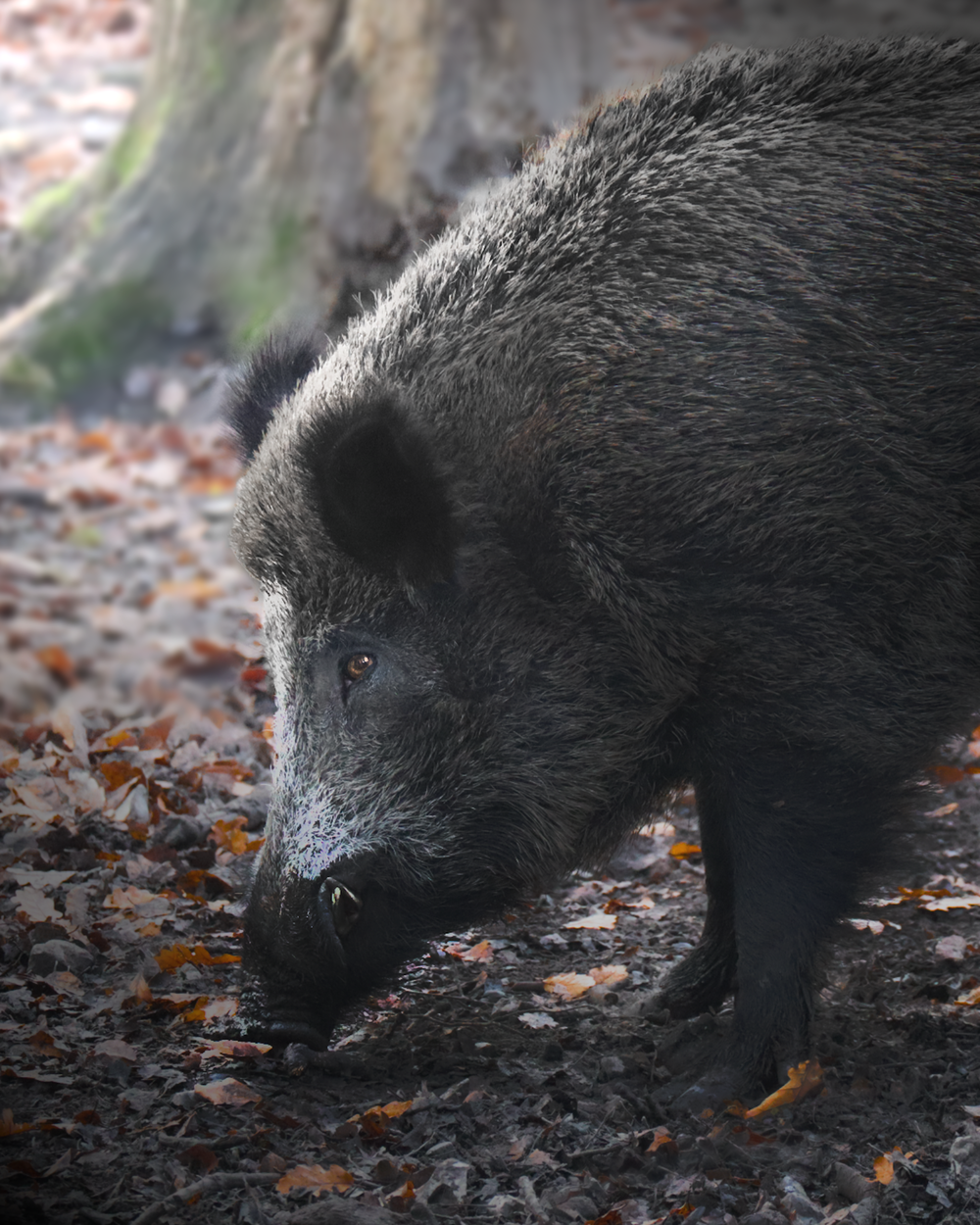 black wild boar on brown dried leaves