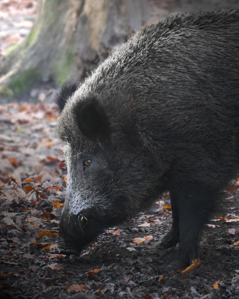 black wild boar on brown dried leaves