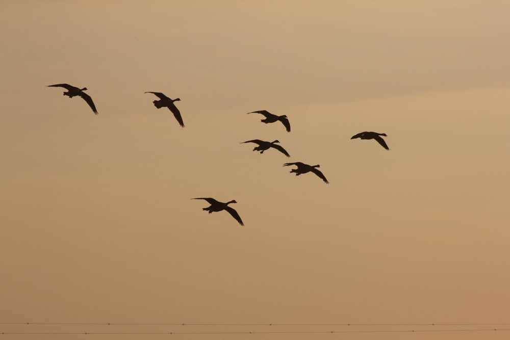 silhouette of birds flying during sunset