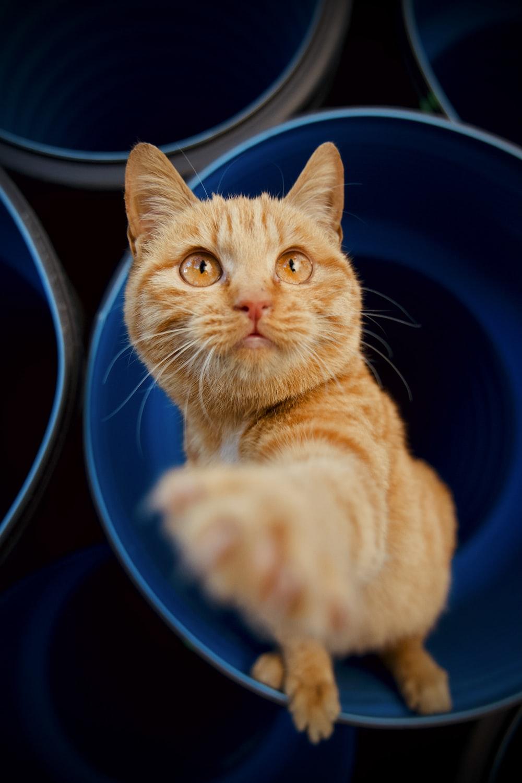 orange tabby cat in blue ceramic bowl