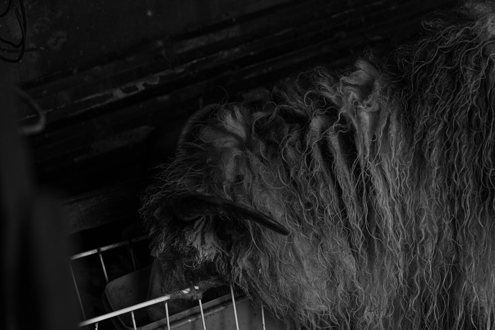 grayscale photo of long haired animal