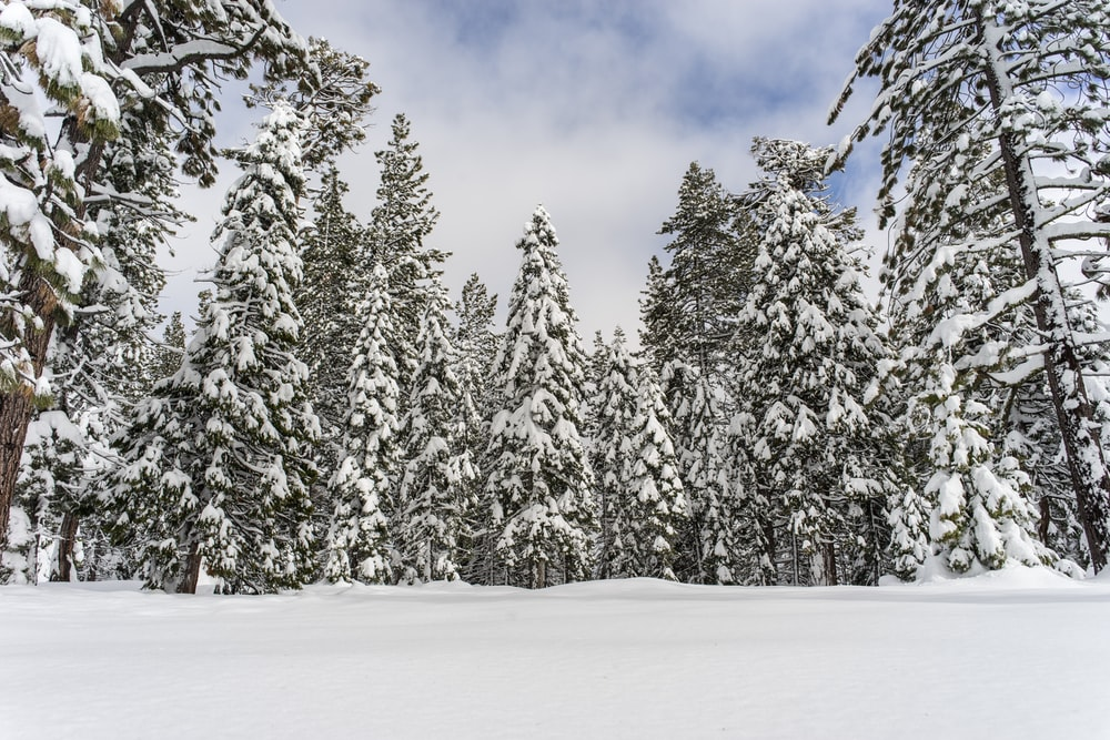 snow covered pine trees under blue sky during daytime