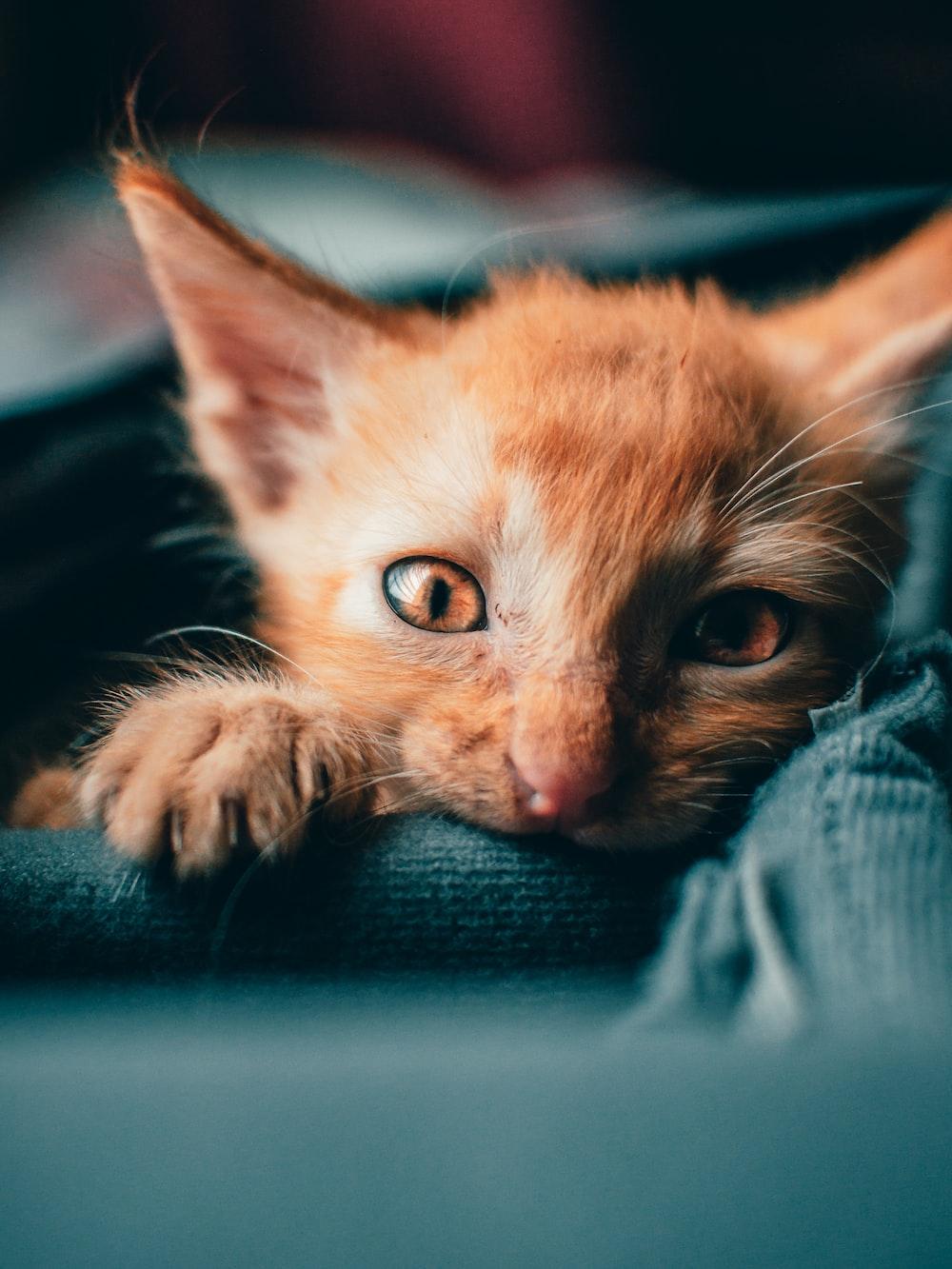 orange tabby kitten on blue textile