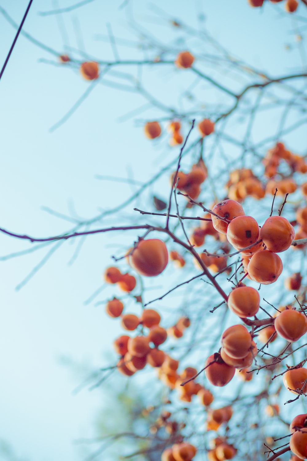 brown round fruits on tree during daytime