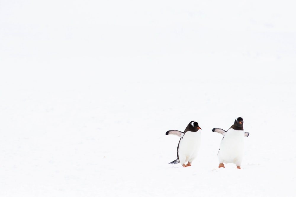 white and black penguins on snow covered ground during daytime