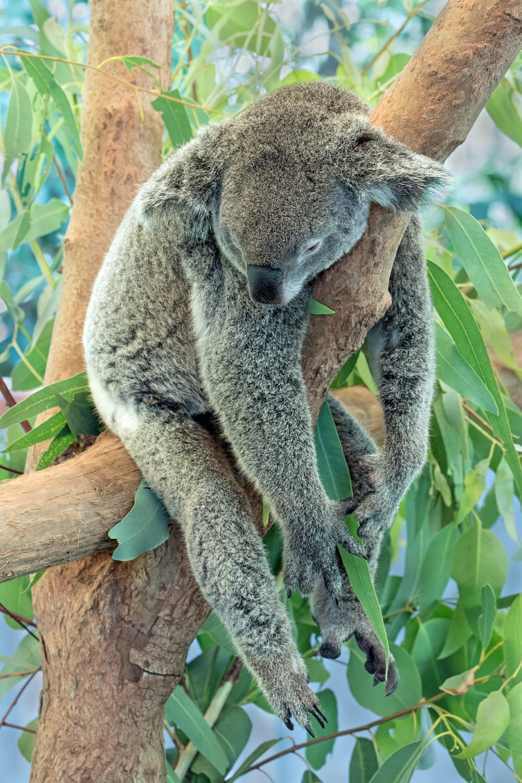 koala bear on brown tree branch during daytime
