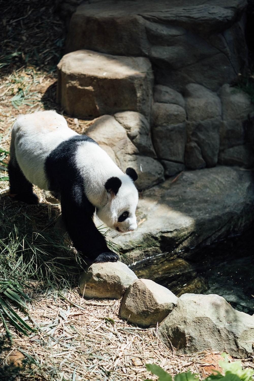 panda on rock formation during daytime