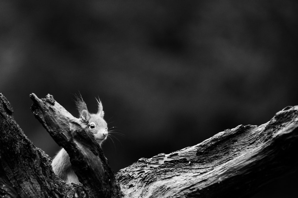 grayscale photo of squirrel on tree branch