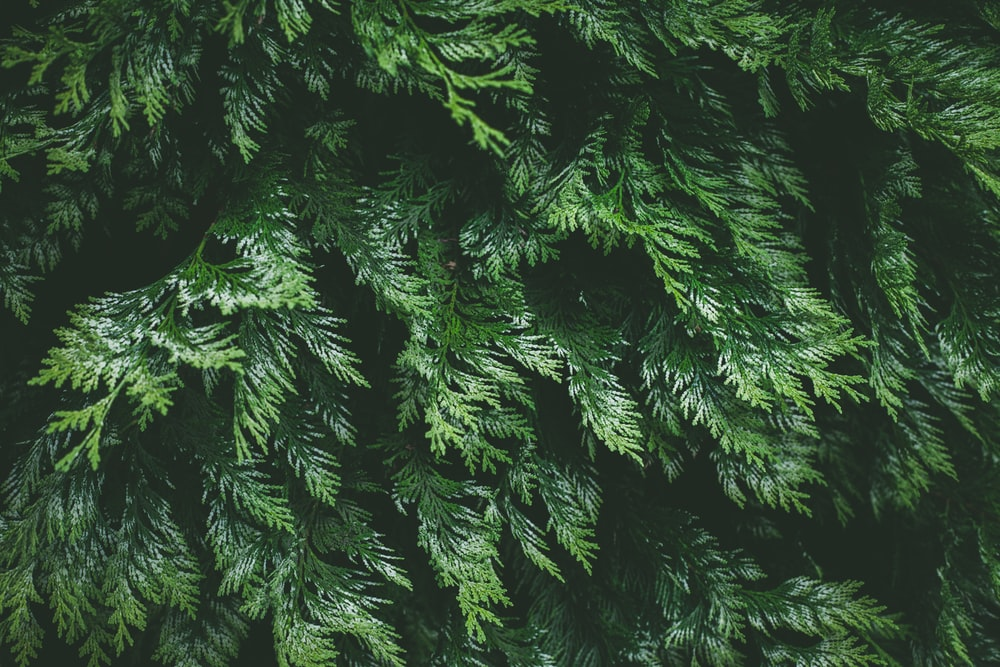 green pine tree in close up photography